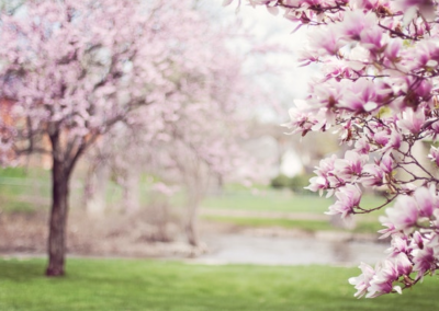 Roze kersen bloesem